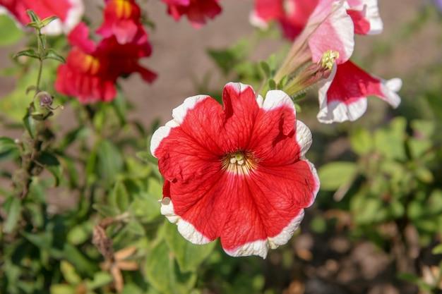 Bela floração vermelha com flor de borda branca em um fundo desfocado. no contexto de algumas flores não mais nítidas. matiz verde do fundo.