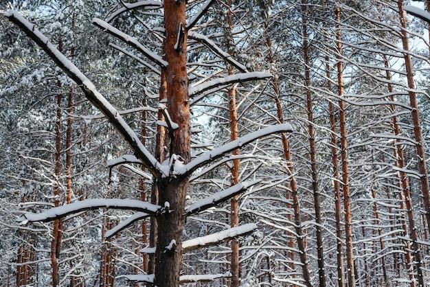 Bela floresta de inverno, troncos de pinheiros cobertos de neve