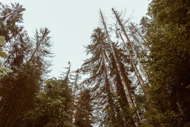 Bela floresta de outono com grandes pinheiros
