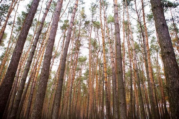 Bela floresta de pinheiros densos no outono