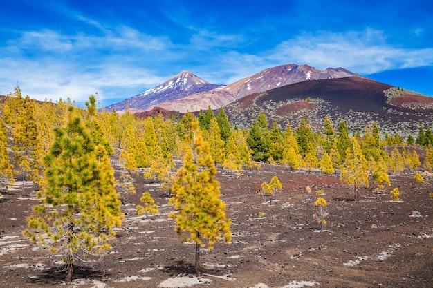 Bela floresta de pinheiros no parque nacional de teide em tenerife, ilhas canárias, espanha