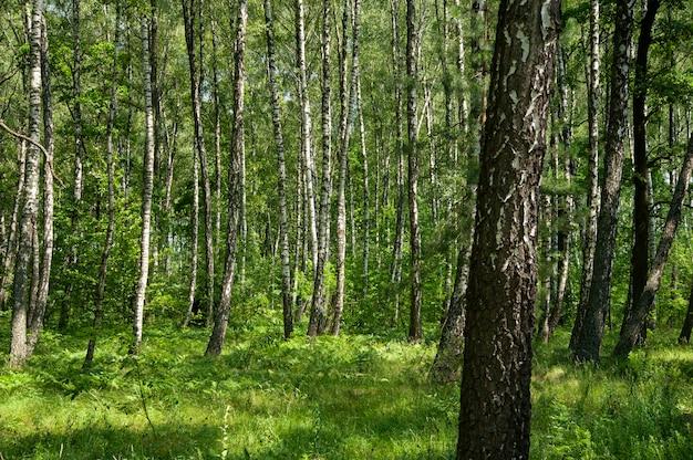 Bela floresta decídua verde na primavera