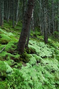 Bela floresta densa com musgo verde suave. verão na floresta de abetos da montanha