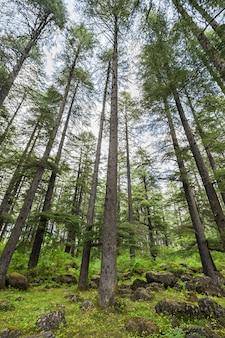 Bela floresta, manali