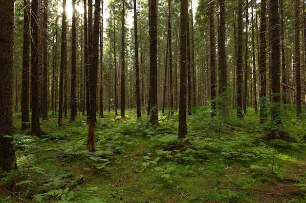 Bela floresta no início do outono no noroeste da europa.
