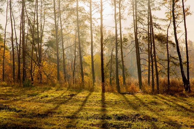 Bela floresta paisagem. natureza do outono. pinheiros no sol da manhã. nascer do sol