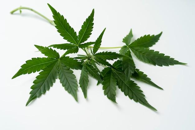 Bela folha verde de cannabis maconha medicinal cresce medicina alternativa medicinal indica cbd