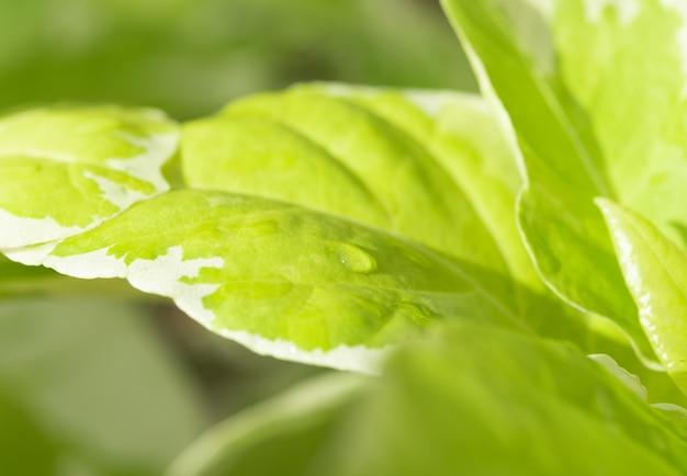 Bela folha verde e gotas de água na luz da manhã de fundo