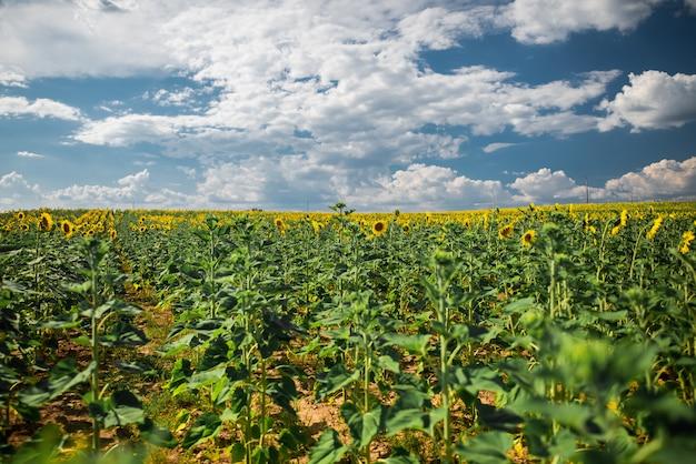 Bela foto ampla do campo de girassol sob o céu com nuvens de algodão branco