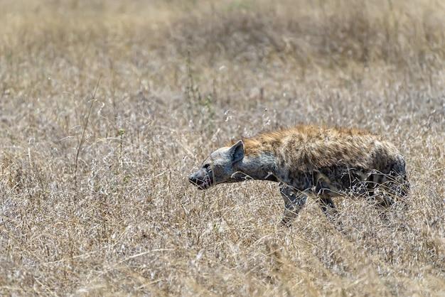 Bela foto da hiena africana vista em uma planície gramada