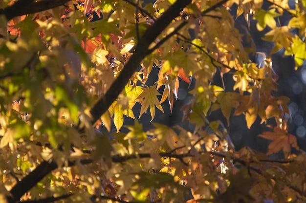 Bela foto das folhas de bordo amarelas em um dia ensolarado de outono com efeito bokeh