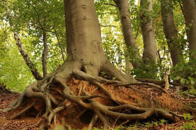 Bela foto das raízes de uma velha árvore com um tronco grosso na floresta em um dia ensolarado