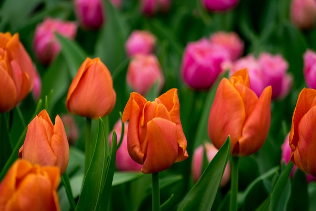 Bela foto das tulipas coloridas no campo em um dia ensolarado
