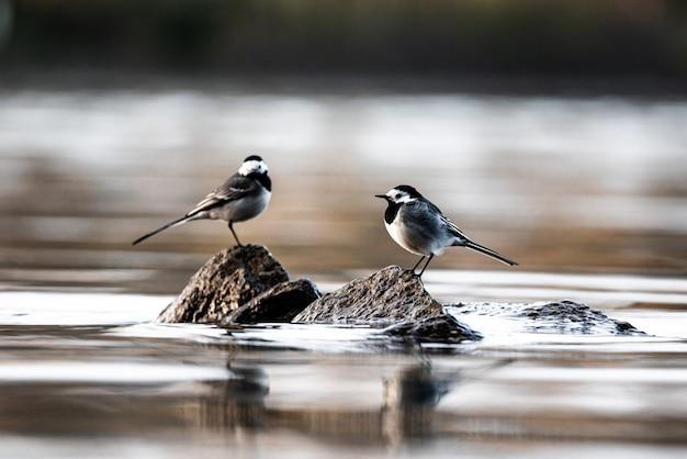 Bela foto de alças brancas (motacilla alba) em pé nas rochas do rio