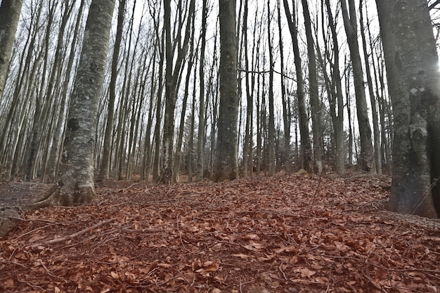 Bela foto de árvores nuas em uma floresta com folhas vermelhas no chão