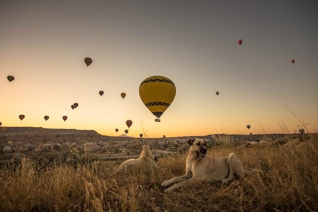 Bela foto de cães sentados em um campo gramado seco com balões quentes no céu