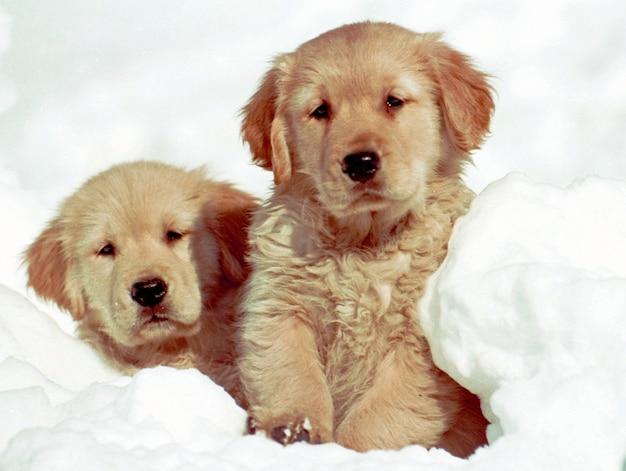 Bela foto de dois filhotes de golden retriever sentados na neve