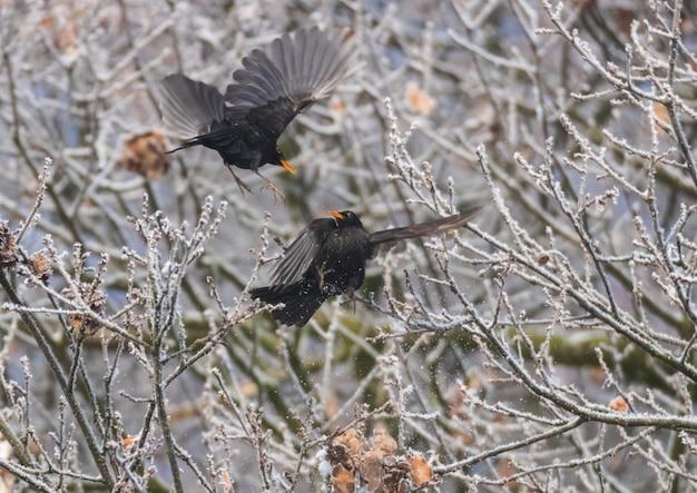 Bela foto de dois pássaros pretos voando com galhos de árvores ao fundo