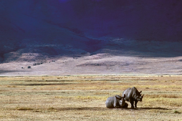 Bela foto de dois rinocerontes em um campo gramado seco com montanhas ao longe