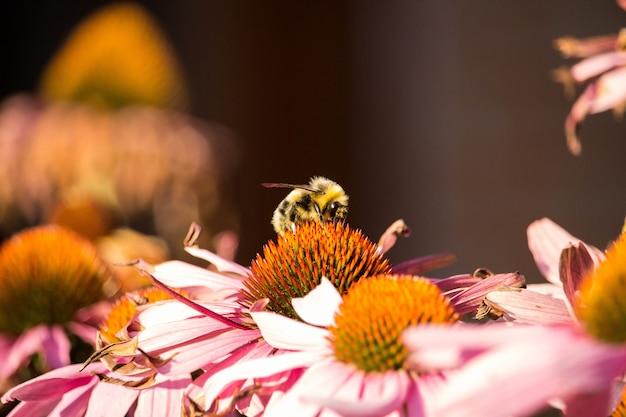 Bela foto de flores roxas de equinácea com uma abelha coletando pólen