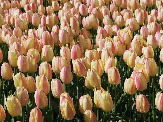 Bela foto de hipnotizantes flores de tulipa sprengeri no meio do campo