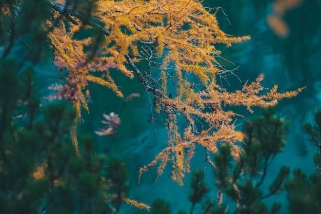 Bela foto de lariço amarelo com fundo desfocado natural