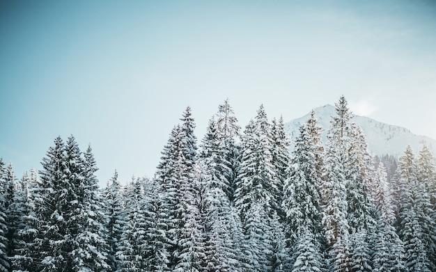 Bela foto de pinheiros nevados com montanha e um céu claro