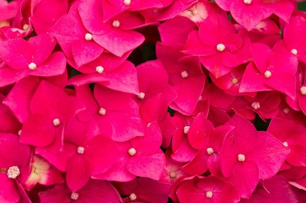 Bela foto de poinsétias rosa