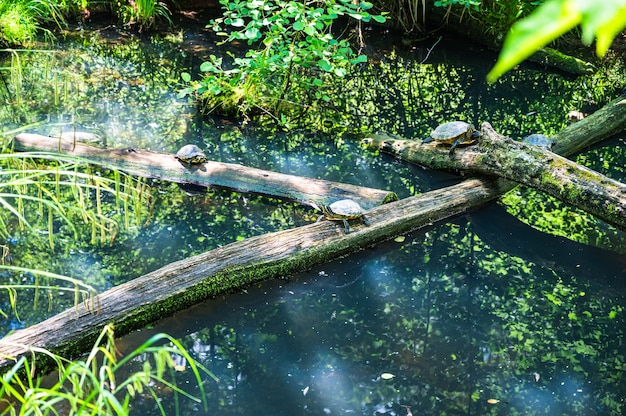 Bela foto de tartarugas em uma ponte de madeira sobre o lago