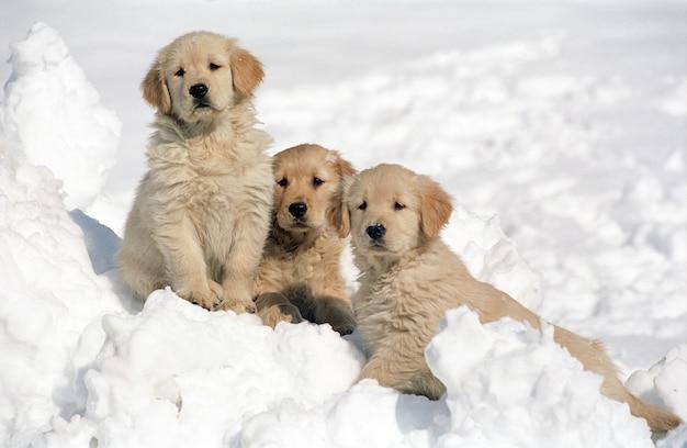 Bela foto de três filhotes de golden retriever descansando na neve com um fundo desfocado
