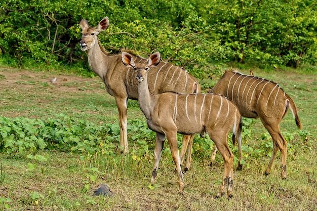 Bela foto de três kudus caminhando juntos em meio à natureza verde durante o dia