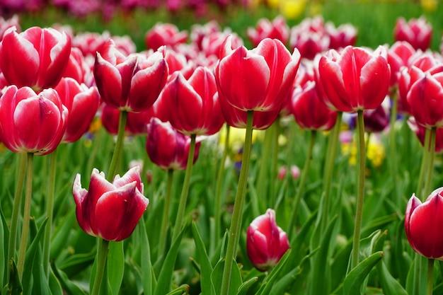 Bela foto de tulipas cor de rosa sob a luz do sol no jardim