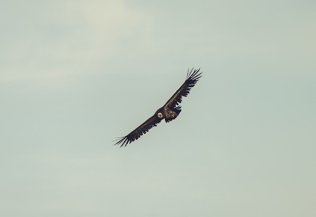 Bela foto de um abutre-grifo voando com um céu nublado