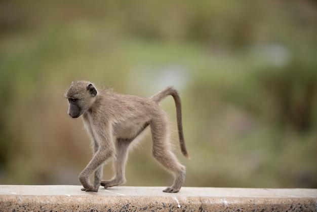 Bela foto de um bebê macaco