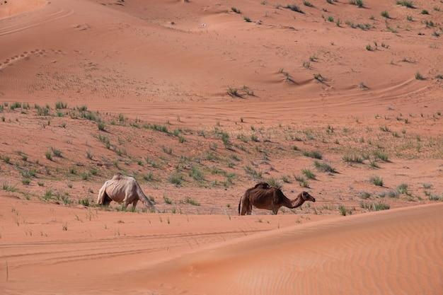 Bela foto de um camelo nas dunas de areia do deserto em dubai, emirados árabes unidos