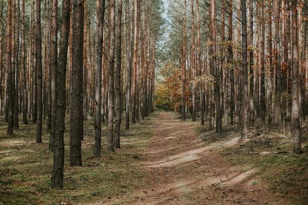 Bela foto de um caminho desabitado no meio de uma floresta de abetos no outono