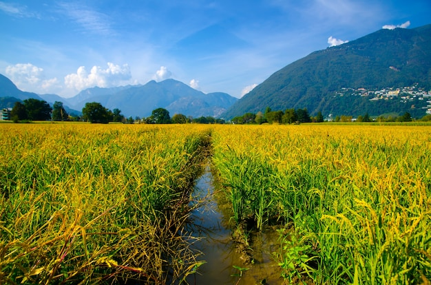 Bela foto de um campo de arroz nas montanhas ticino, na suíça
