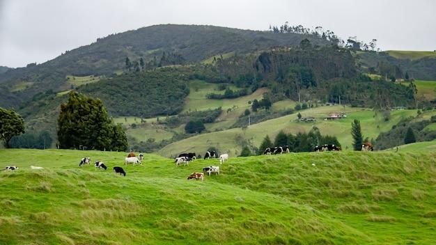 Bela foto de um campo verde com chaleira pastando na grama e belas colinas