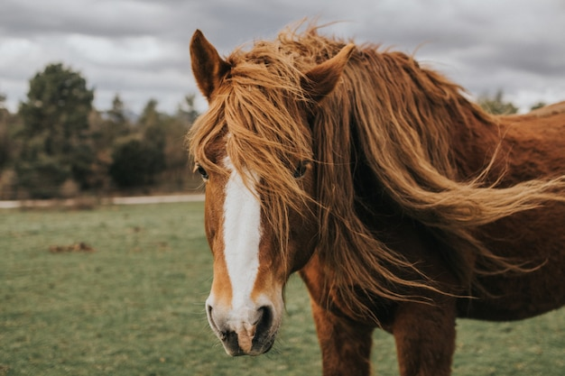Bela foto de um cavalo islandês marrom e branco