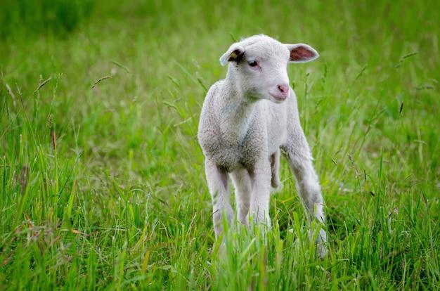 Bela foto de um cordeiro no meio do campo verde