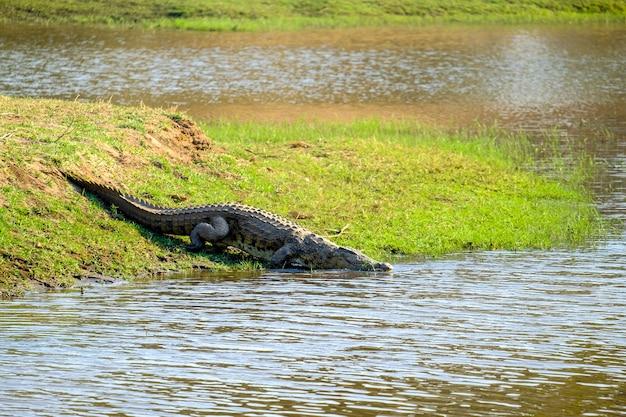 Bela foto de um crocodilo perto do lago em uma área verde
