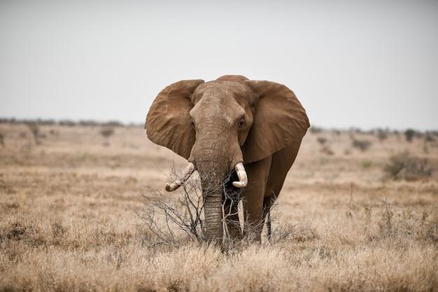 Bela foto de um elefante africano no campo da savana