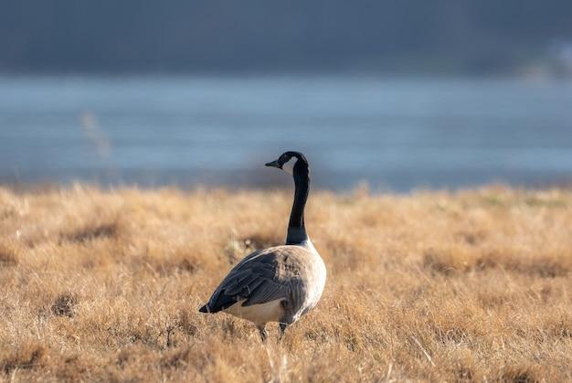 Bela foto de um ganso canadense em um campo