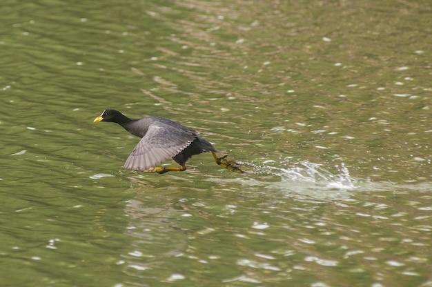 Bela foto de um ganso voando sobre um lago reflexivo