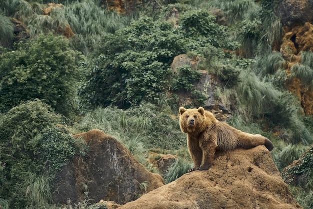 Bela foto de um grande urso marrom sentado em uma rocha em uma floresta