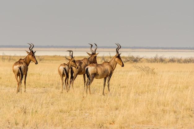 Bela foto de um grupo de hartebeests caminhando em um campo de grama amarela