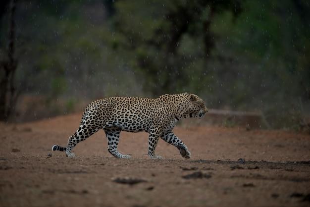Bela foto de um leopardo africano caminhando sob a chuva com um fundo desfocado