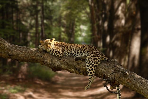 Bela foto de um leopardo preguiçoso descansando na árvore com um fundo desfocado