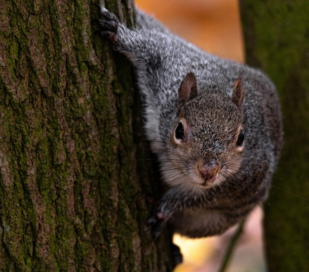 Bela foto de um lindo esquilo atrás da árvore