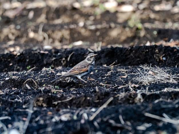 Bela foto de um lindo pássaro tordo-escuro no chão em um campo no japão